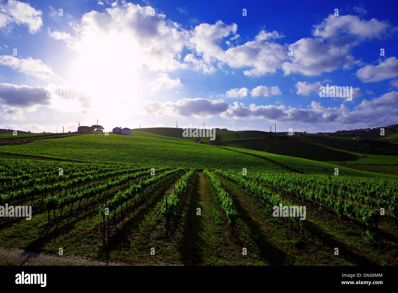 wine farm torres vedras area, oeste, portugal - Stock Image
