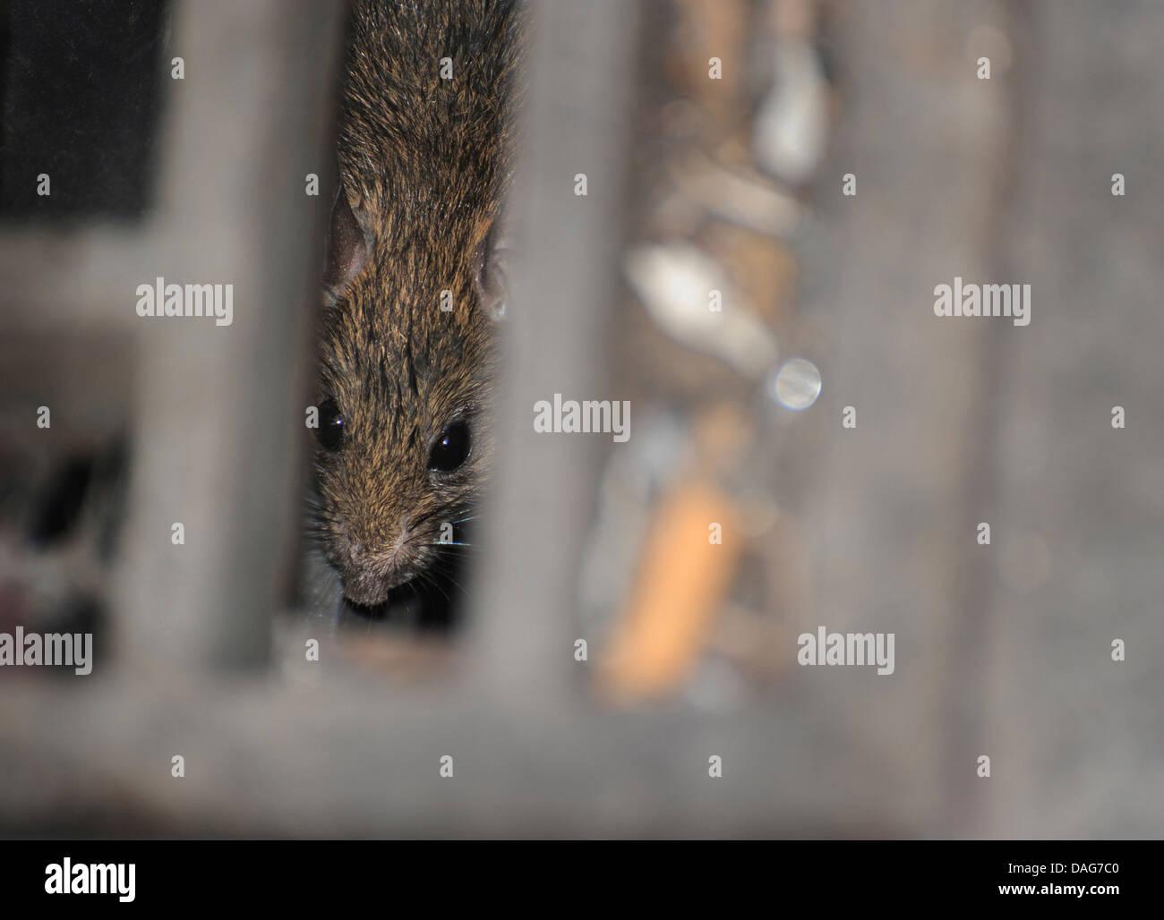 Brown rat in a sewer drain. Rattus norvegicus. - Stock Image