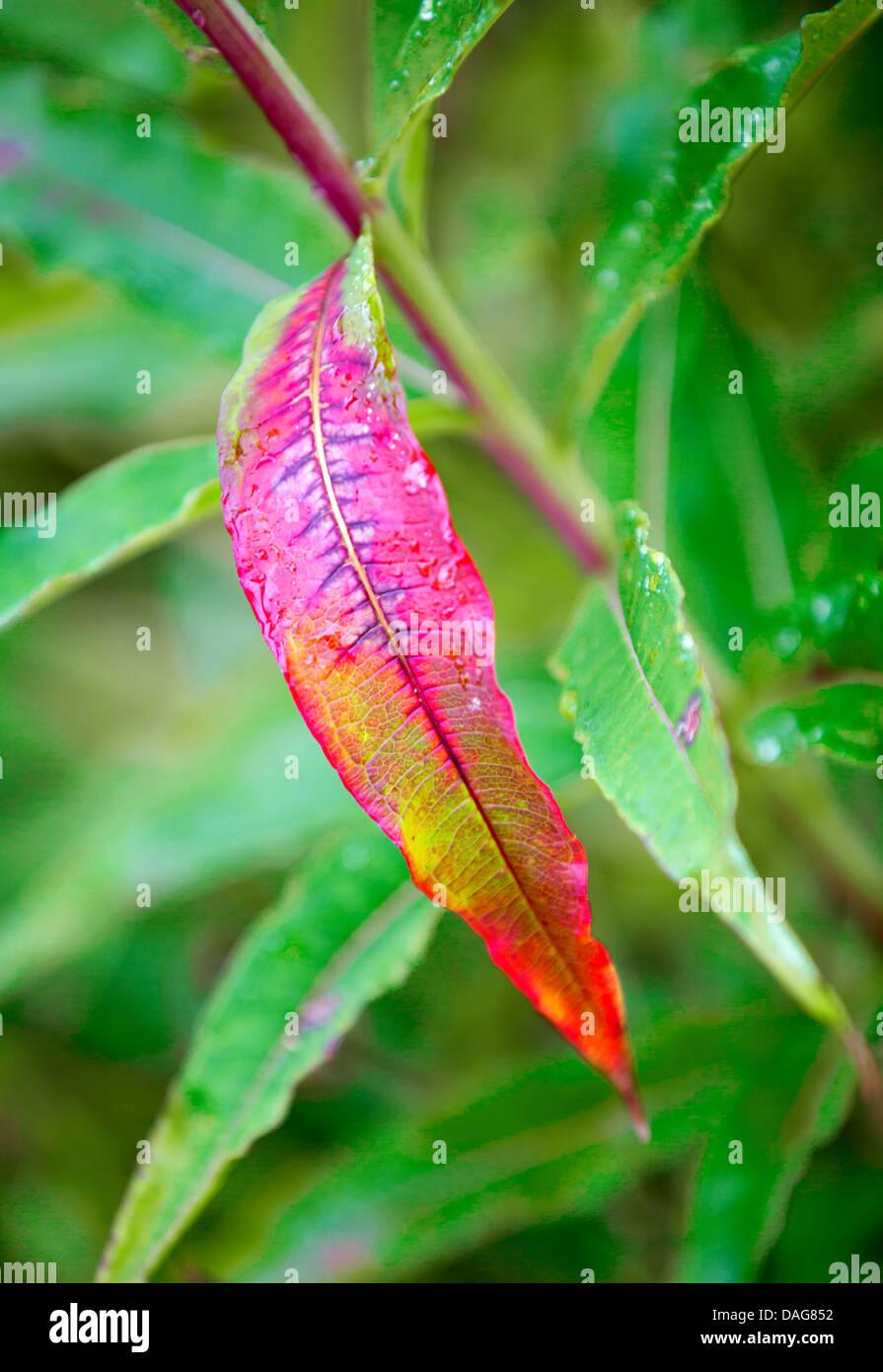 fireweed, blooming sally, rosebay willow-herb, great willow-herb (Epilobium angustifolium, Chamaenerion angustifolium), Stock Photo