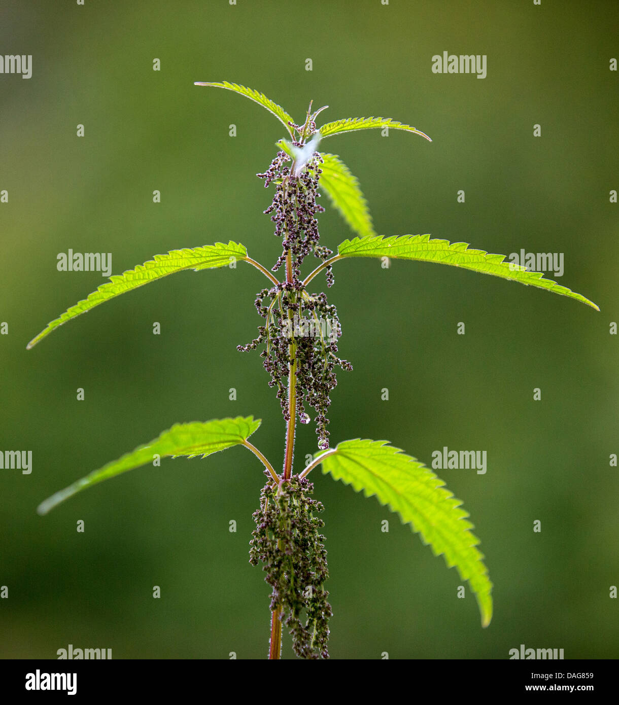 stinging nettle (Urtica dioica), blooming, Norway, Troms ...