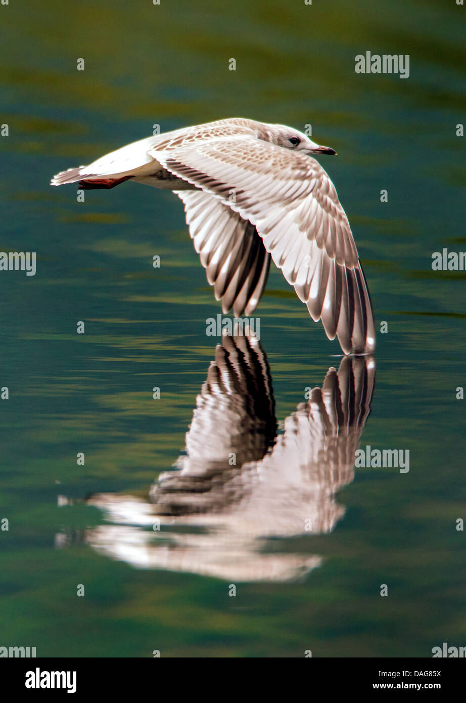 mew gull (Larus canus), juvenile flying closely over the water surface, Norway, Troms, Tromsoe, Prestvannet - Stock Image