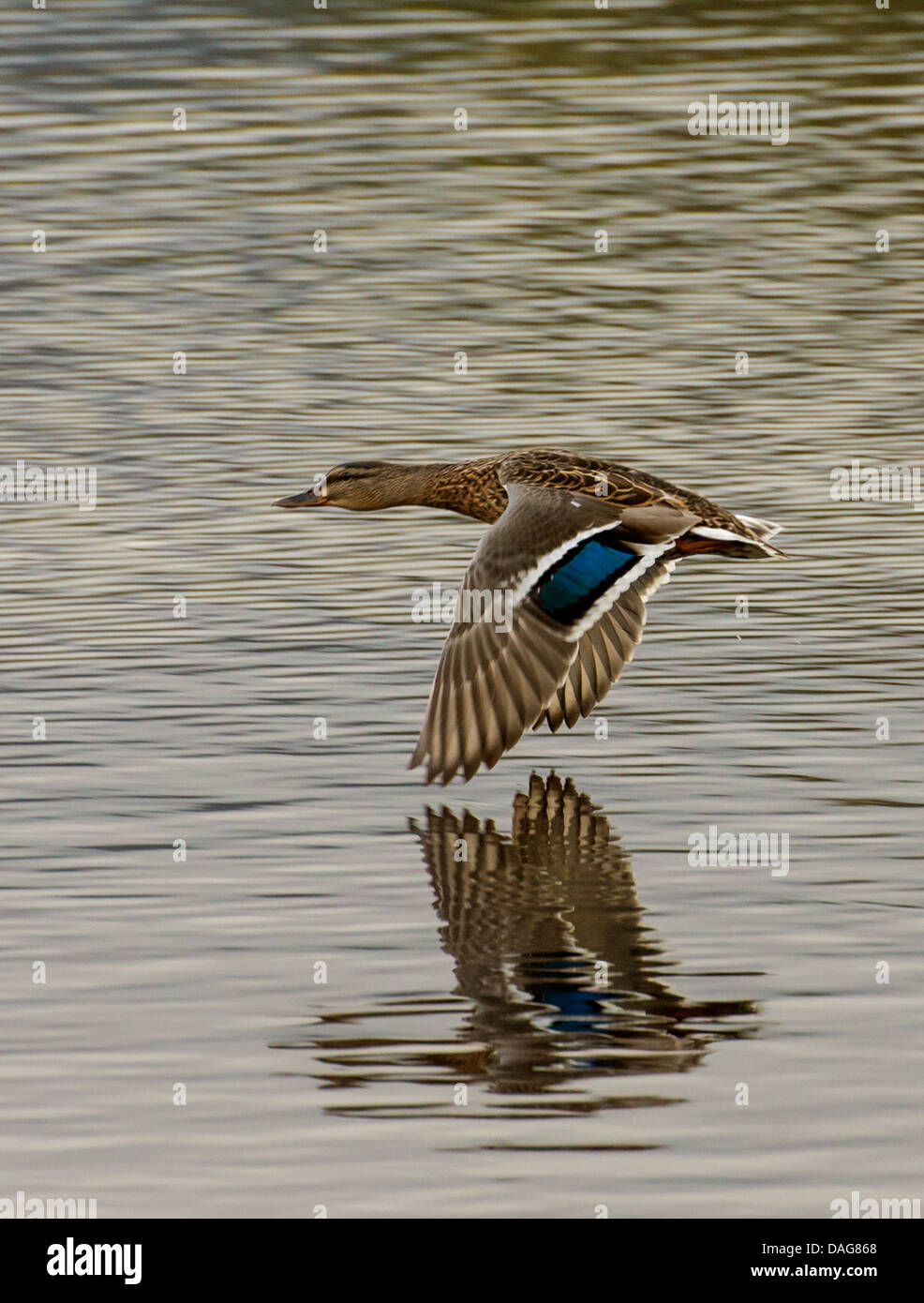 mallard (Anas platyrhynchos), flying closely to the water surface of a lake, Norway, Troms, Tromsoe, Prestvannet - Stock Image