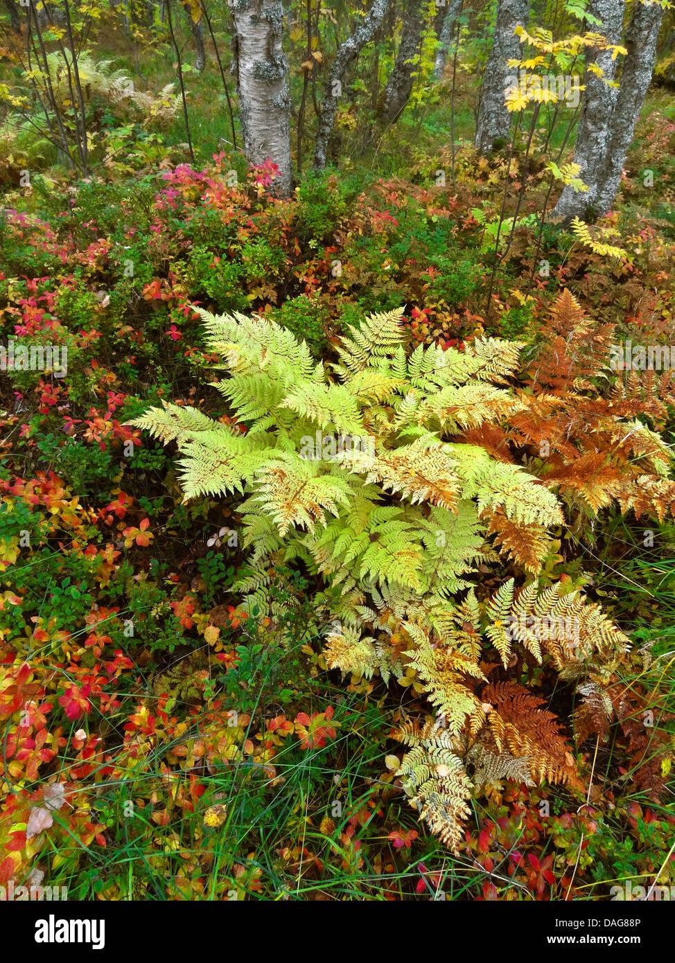 autumn in taiga, Norway, Troms, Tromsoe - Stock Image