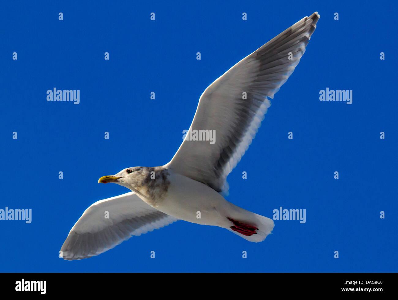glaucous-winged gull (Larus glaucescens), flying, USA, Alaska, Chilkat Bald Eagle Preserve - Stock Image