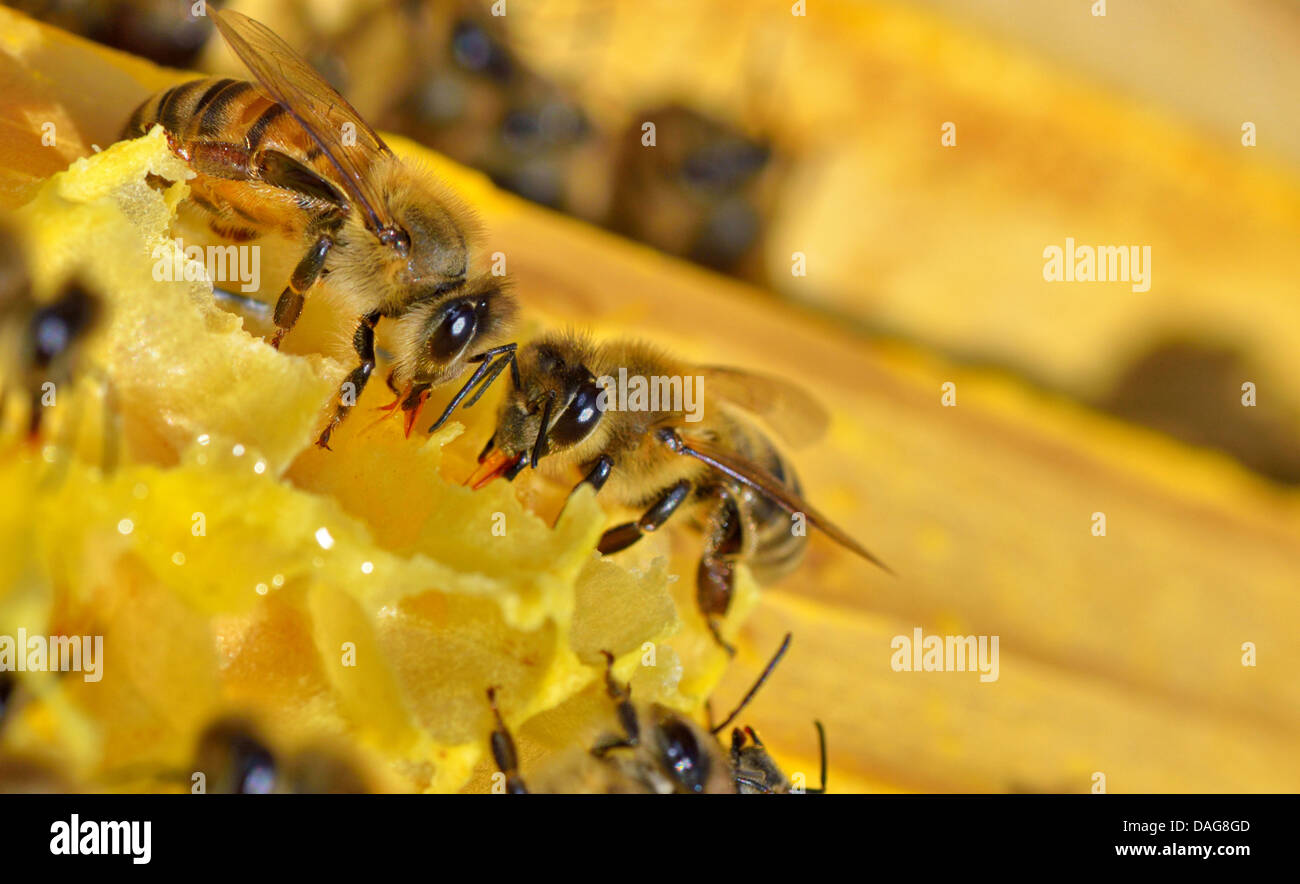 more bees on a honey cells, macro - Stock Image
