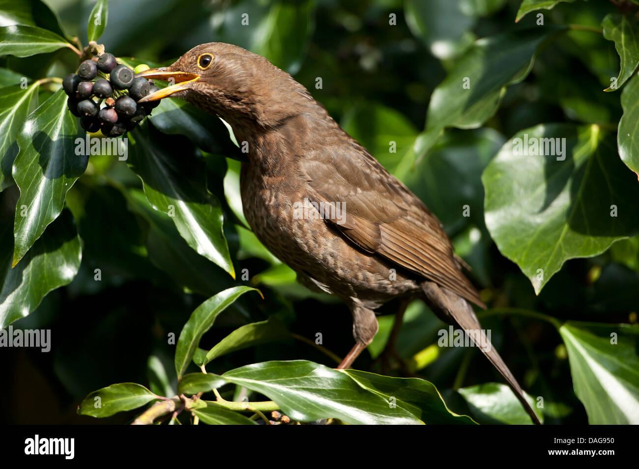 blackbird (Turdus merula), female feeding on ivy berries, Germany, North Rhine-Westphalia - Stock Image