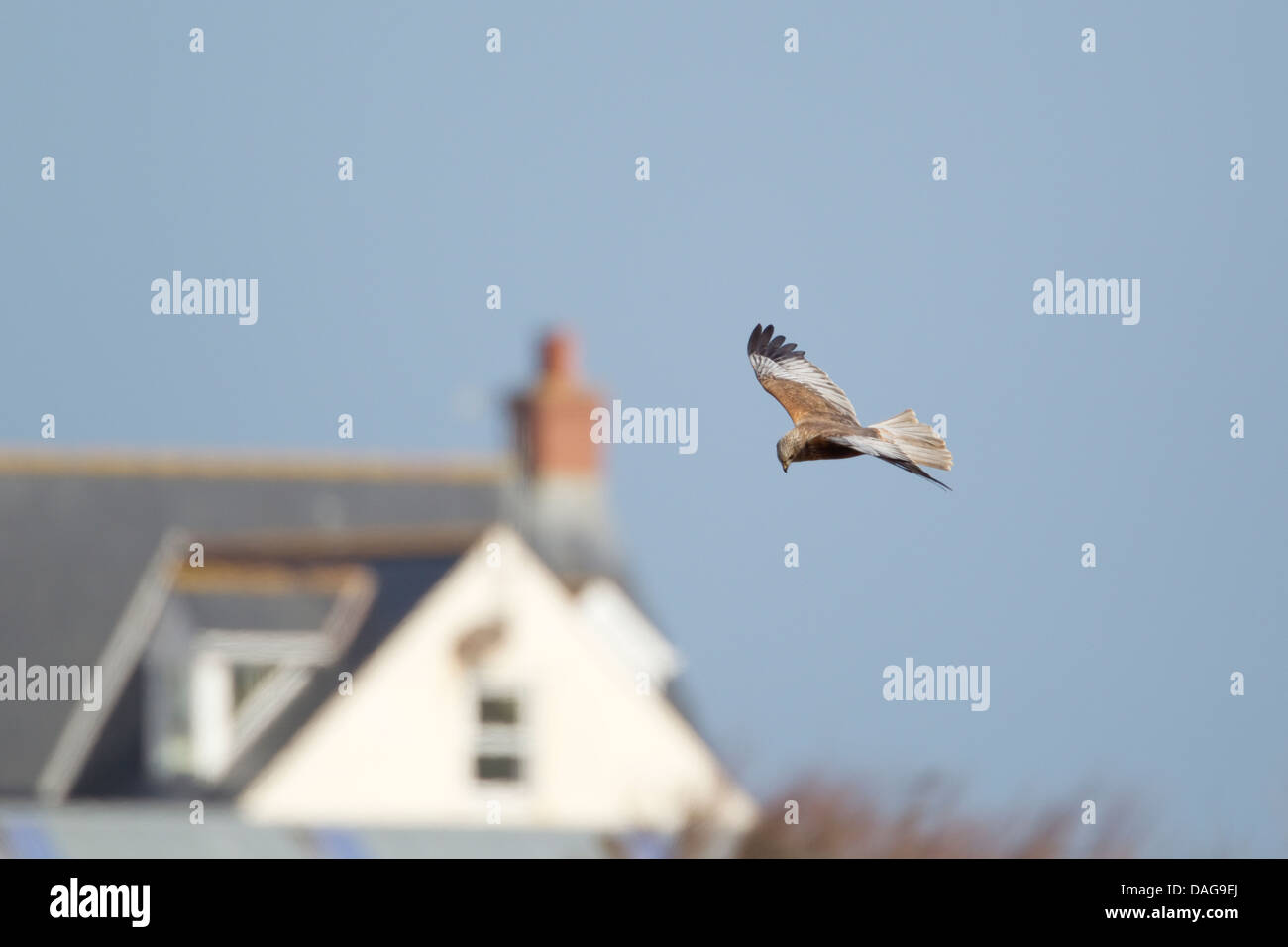 Marsh Harrier - male with house in background Circus aeruginosus Guernsey Channel islands, UK BI024624 Stock Photo