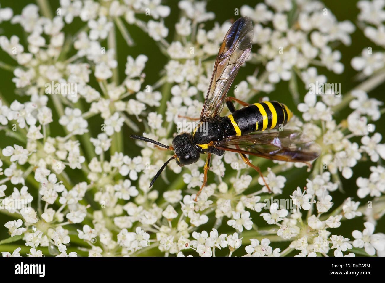 Sawfly, Saw-fly (Tenthredo vespa), female on a flower visit, Germany - Stock Image