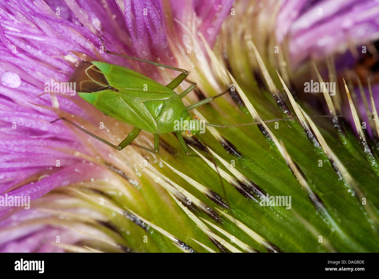 capsid bug (Calocoris affinis), at a thistle, Germany - Stock Image