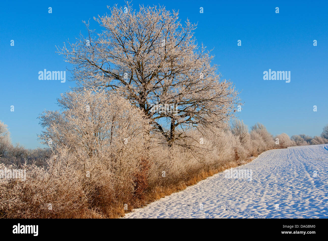 hedge in winter when snow and frost, hoarfrost, Germany - Stock Image