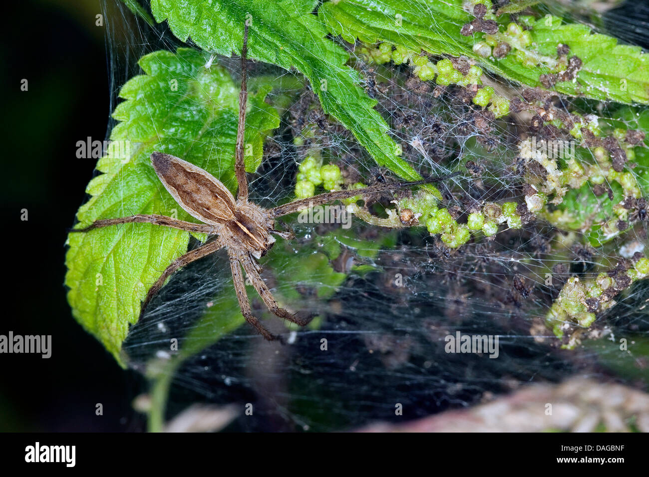 nursery web spider, fantastic fishing spider (Pisaura mirabilis), femal with young spiders in the nest, Germany - Stock Image