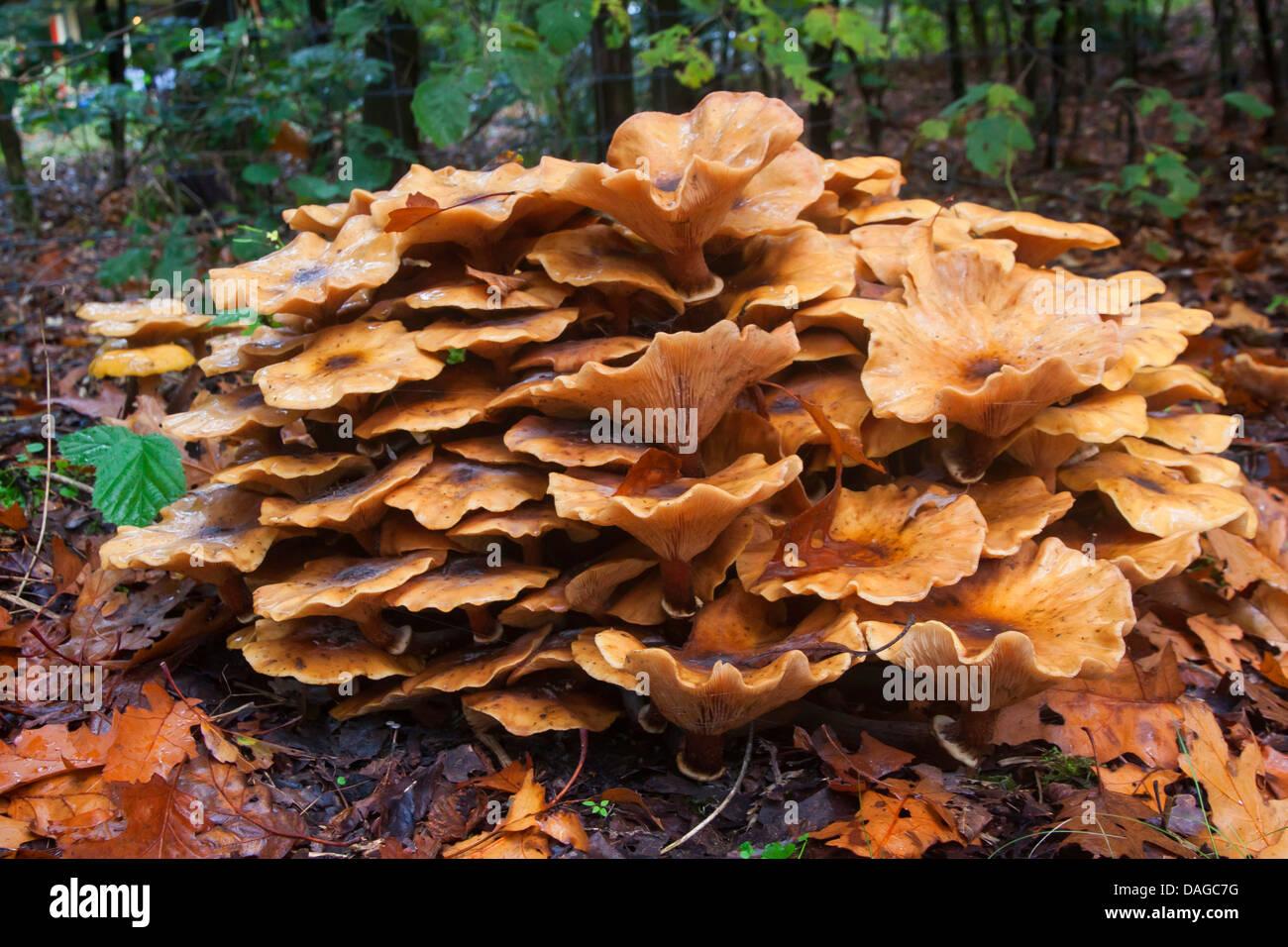 honey fungus (Armillaria mellea), old fruiting bodies, Germany - Stock Image