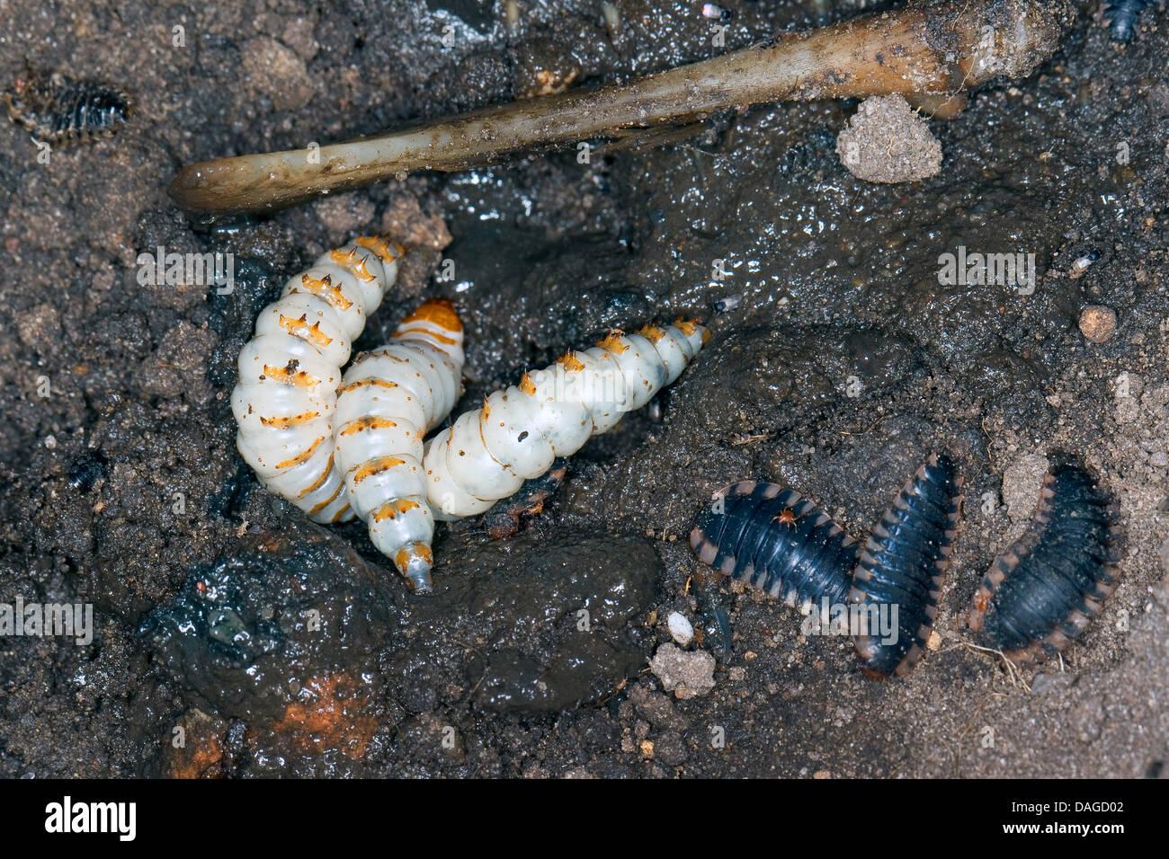 Black burying beetle (Necrophorus humator, Nicrophorus humator), larvae of the Black burying beetle feeding on corpse - Stock Image