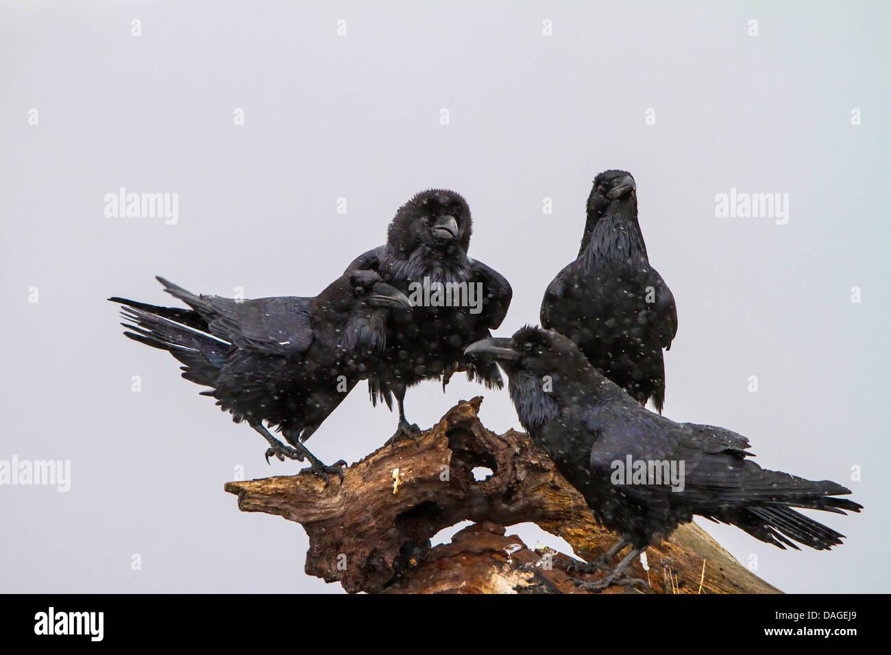 Corvus corax: Common Raven Skeletal Study Ink;... | Ash ...