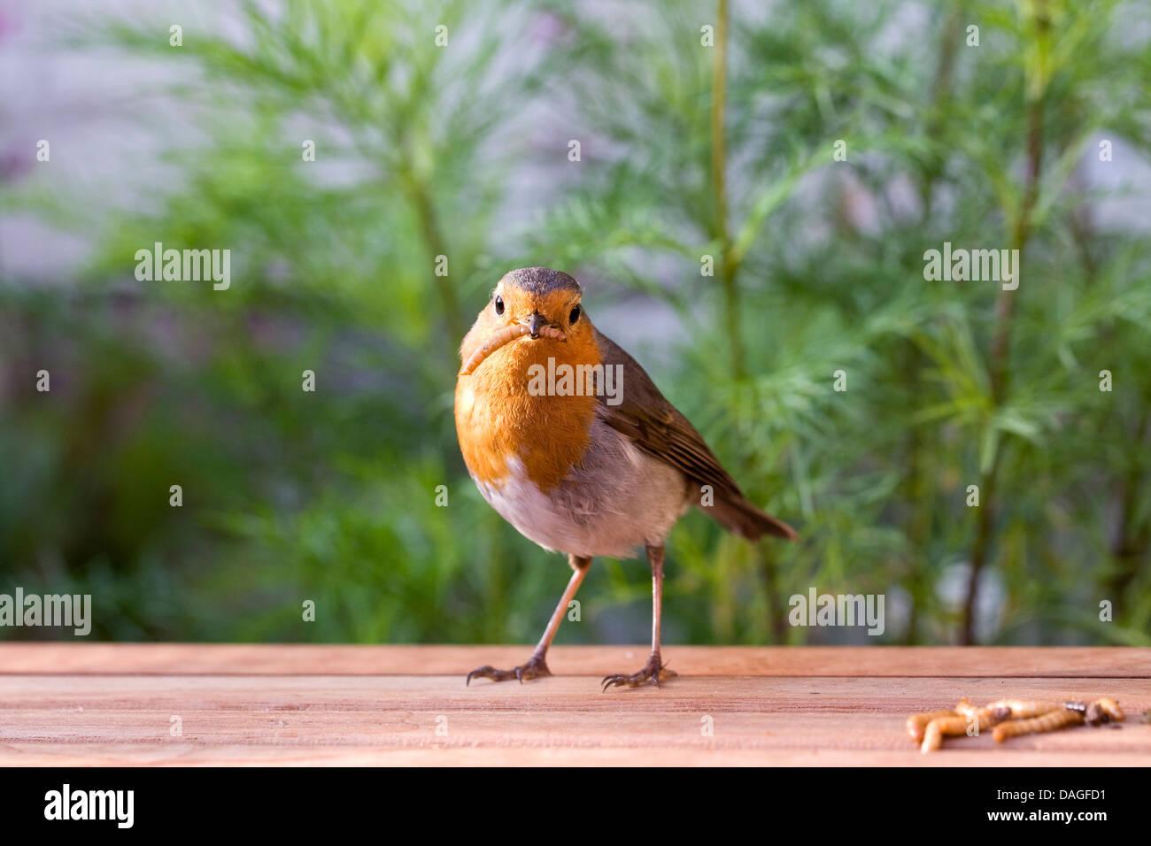 Erithacus rubecula. Robin eating mealworms in an English garden. - Stock Image