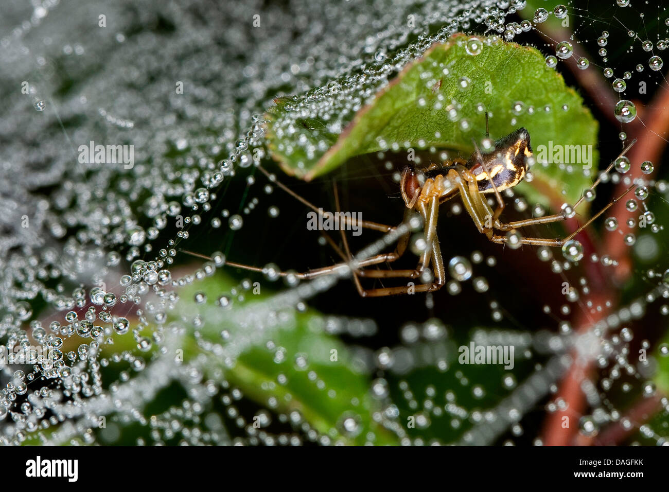 Sheet-web weaver, Line-weaving spider, Line weaver (Linyphia triangularis), in spiderweb with dewdrops, Germany - Stock Image