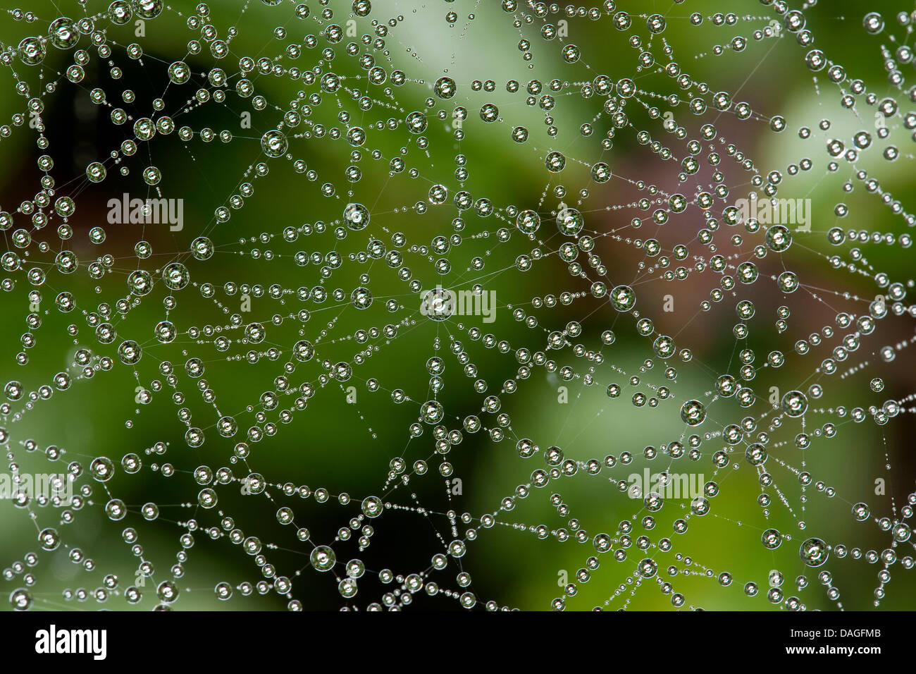 Sheet-web weaver, Line-weaving spider, Line weaver (Linyphia triangularis), spiderweb with morningdew, Germany - Stock Image