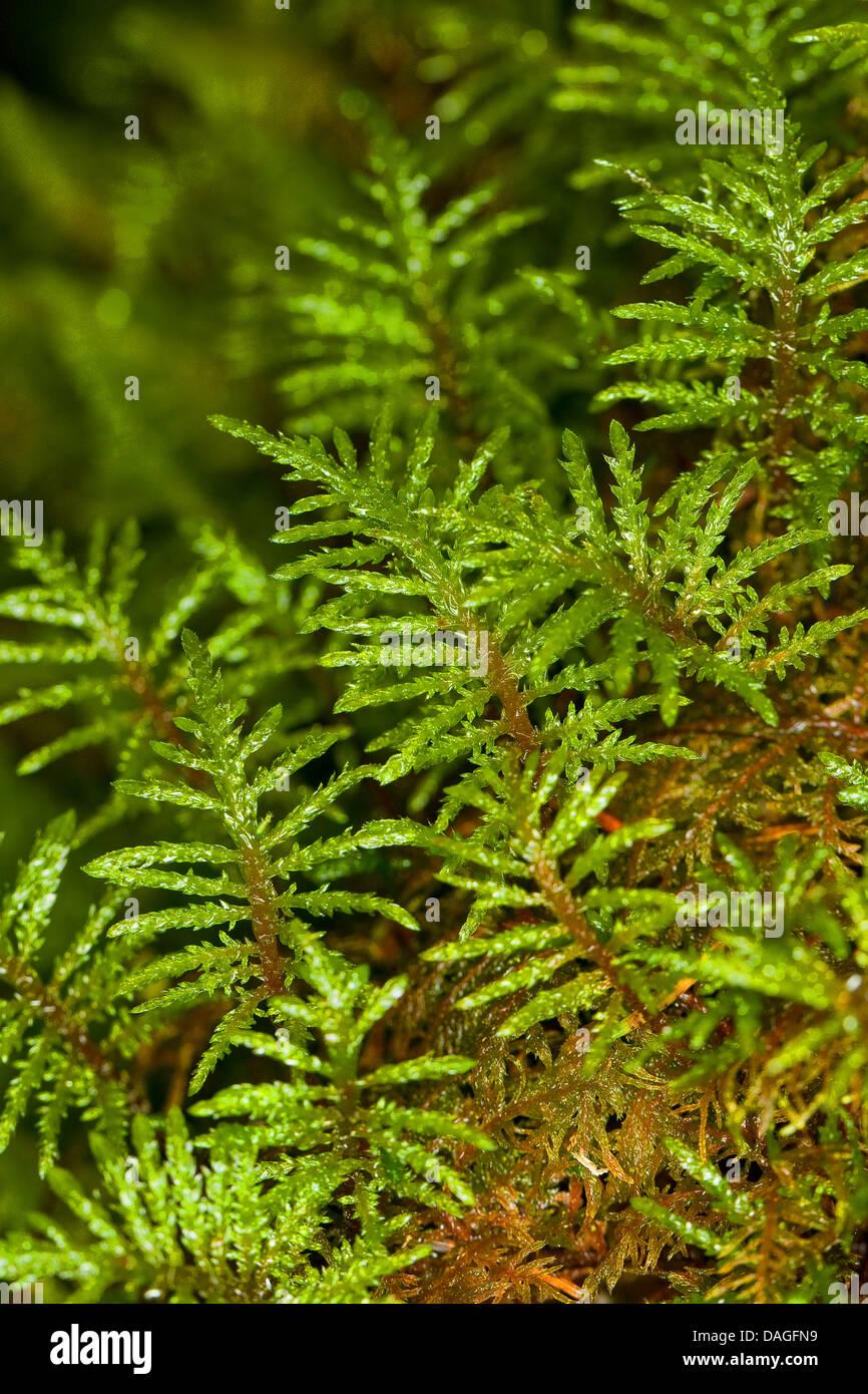 Glittering Wood-moss, Stair-step Moss, Stair Step Moss, Step-moss, Mountain Fern Moss, Fern-Moss (Hylocomium splendens, - Stock Image