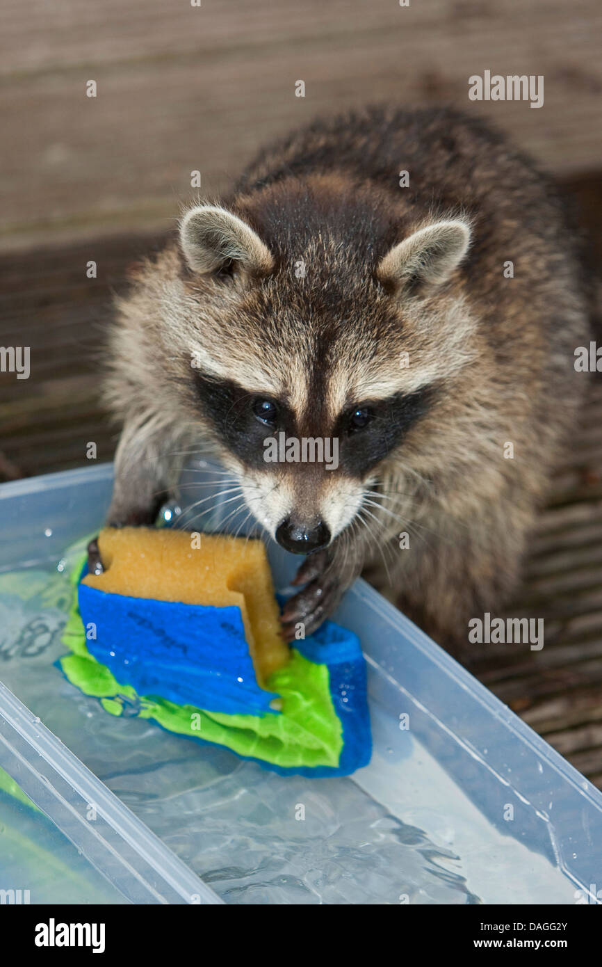 Why is a raccoon a rag What is he rinsing