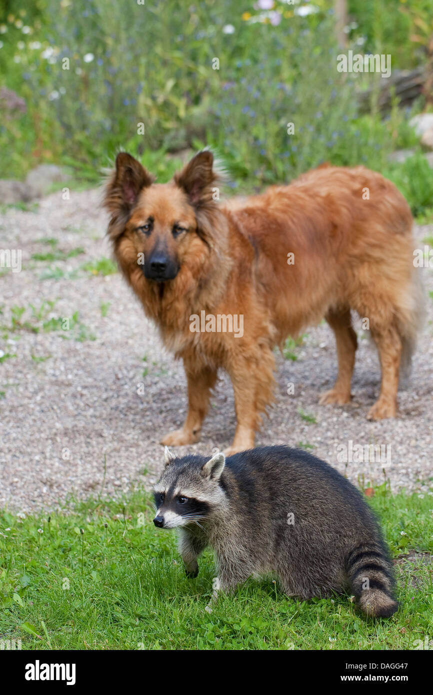 common raccoon (Procyon lotor), tame pup chummy with dog, friedship between dog and wild animal, Germany - Stock Image