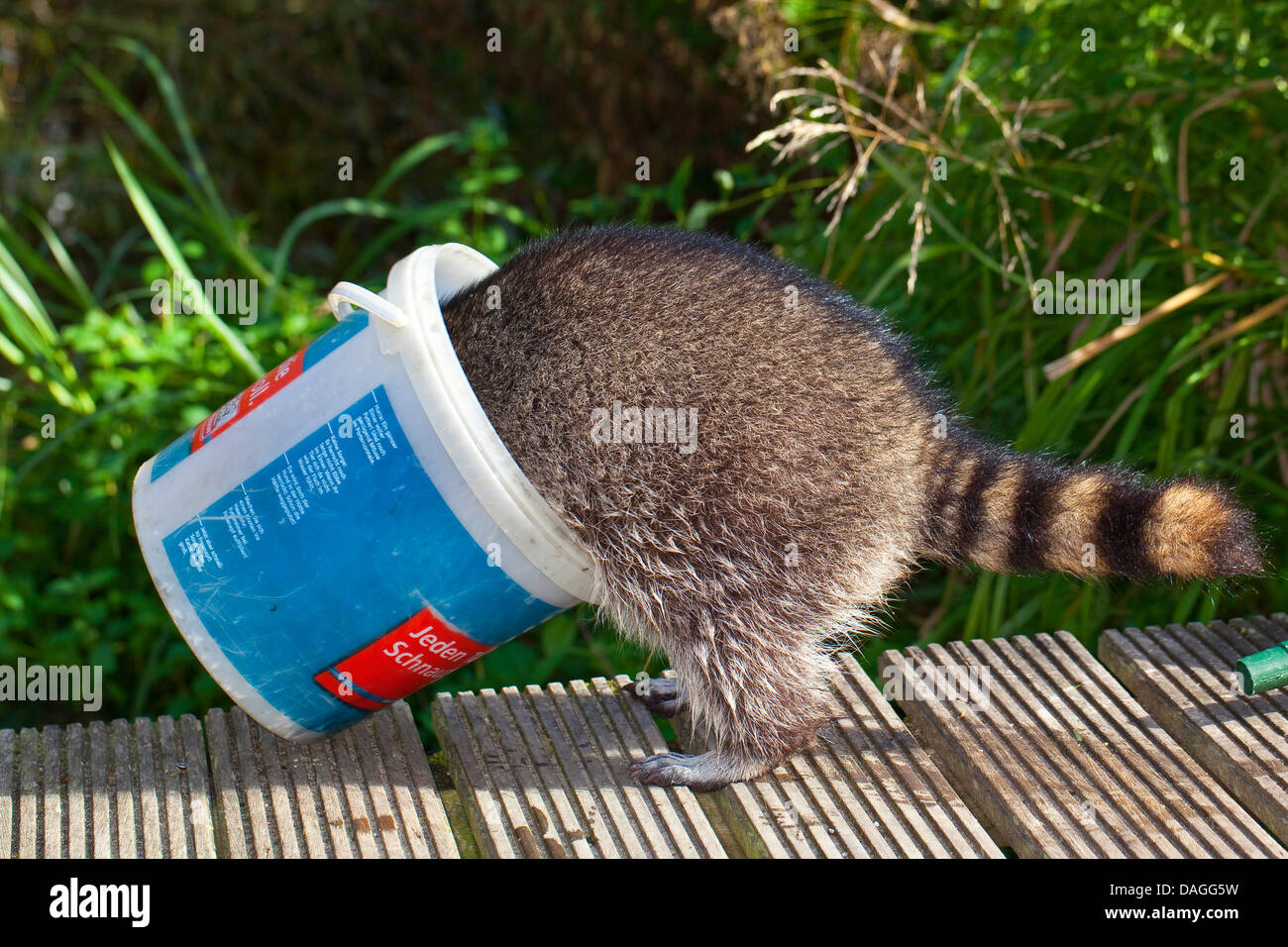 common raccoon (Procyon lotor), tame pup playing with a bucket in the garden, Germany - Stock Image