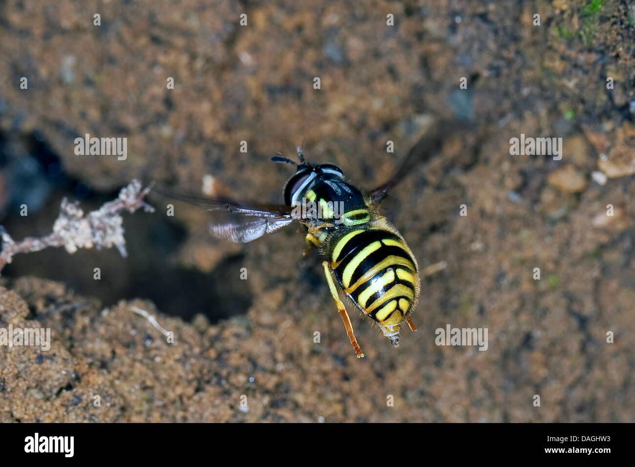 Spaete-Wespen-Schwebfliege (Chrysotoxum arcuatum, Chrysotoxum fasciatum), imitates the look of wasps for protection - Stock Image
