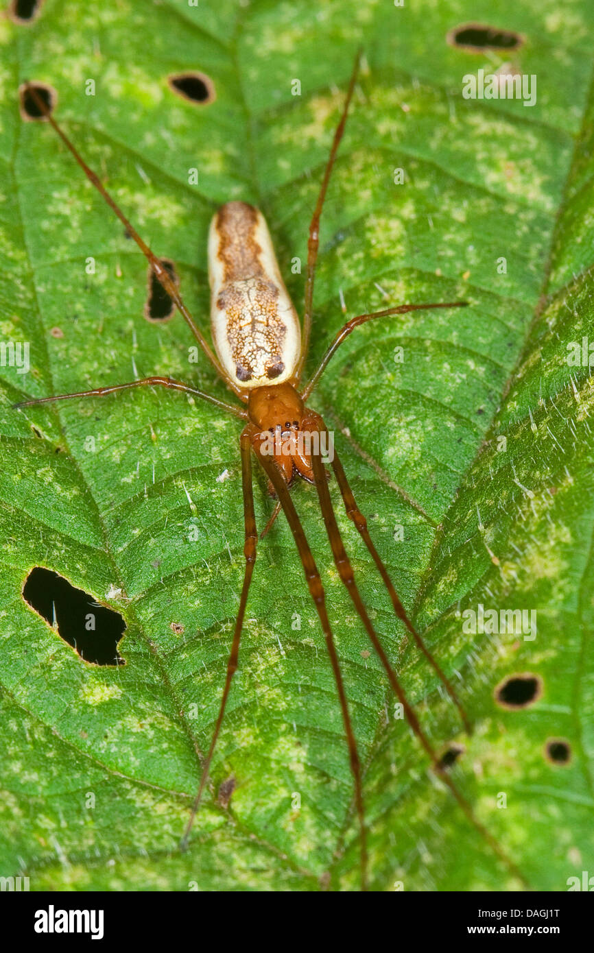 Long-jawed spider, long-jawed orb weavers (Tetragnatha montana), on a leaf, Germany - Stock Image