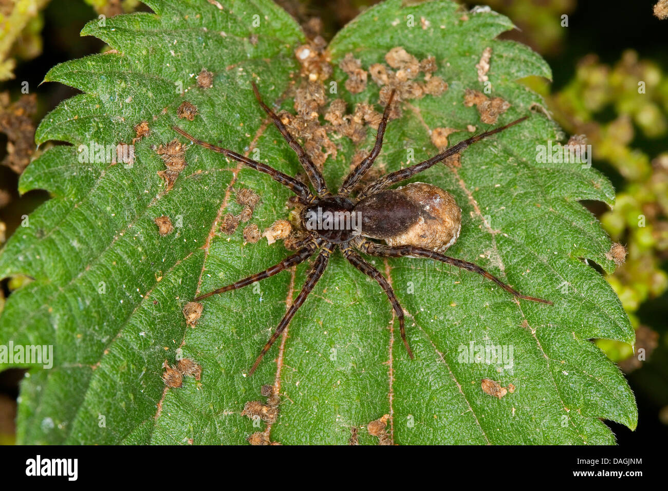 Wolfspinne (Pardosa spec., ), female with coccon on her back, Germany - Stock Image