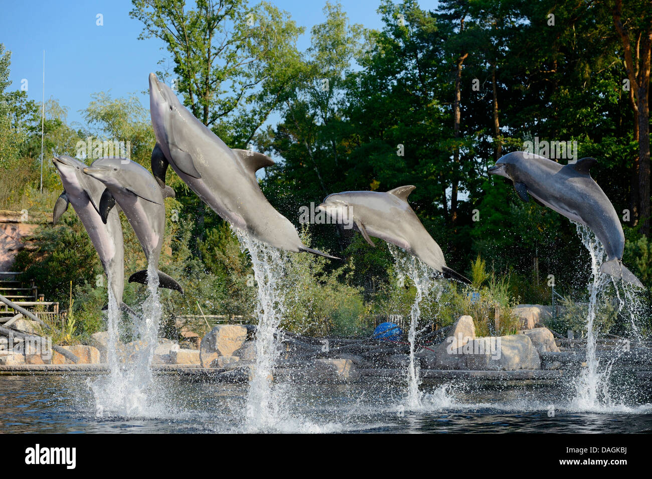 Bottlenosed dolphin, Common bottle-nosed dolphin (Tursiops truncatus), five dolphins making feats in a dolphinarium - Stock Image