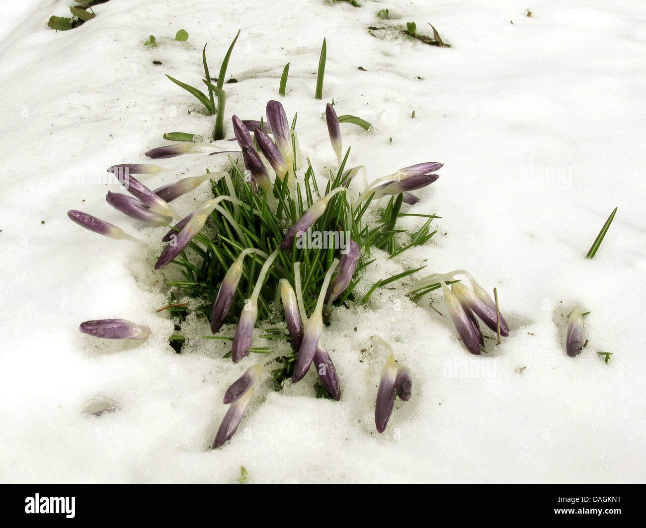 Early Crocus (Crocus tommasinianus), crocusses after snow fall, Germany - Stock Image