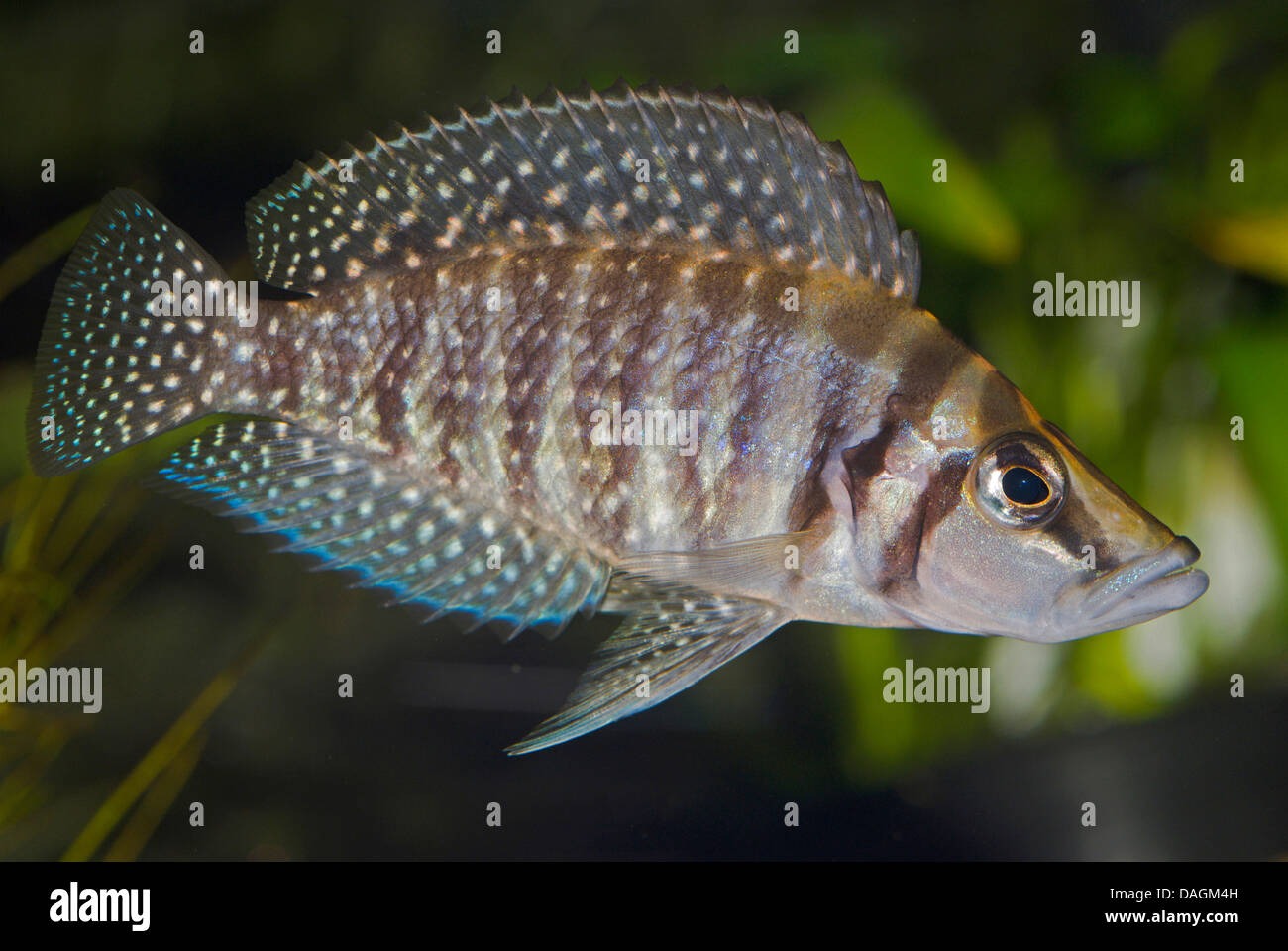 Congo Blackfin (Altolamprologus calvus), swimming Stock Photo