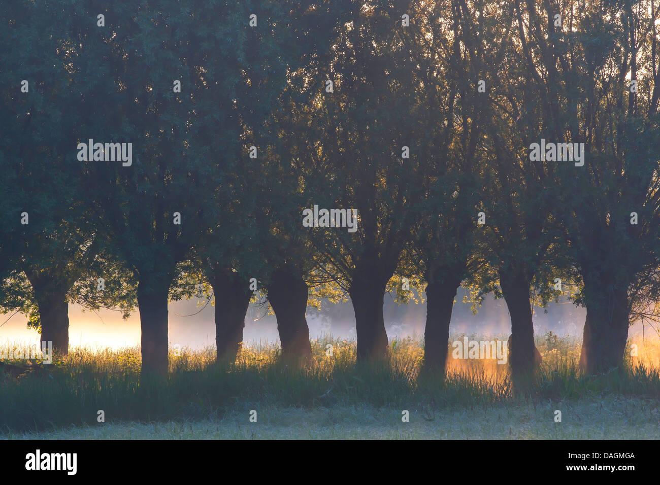 willow, osier (Salix spec.), row of pollard willow trees, Belgium - Stock Image