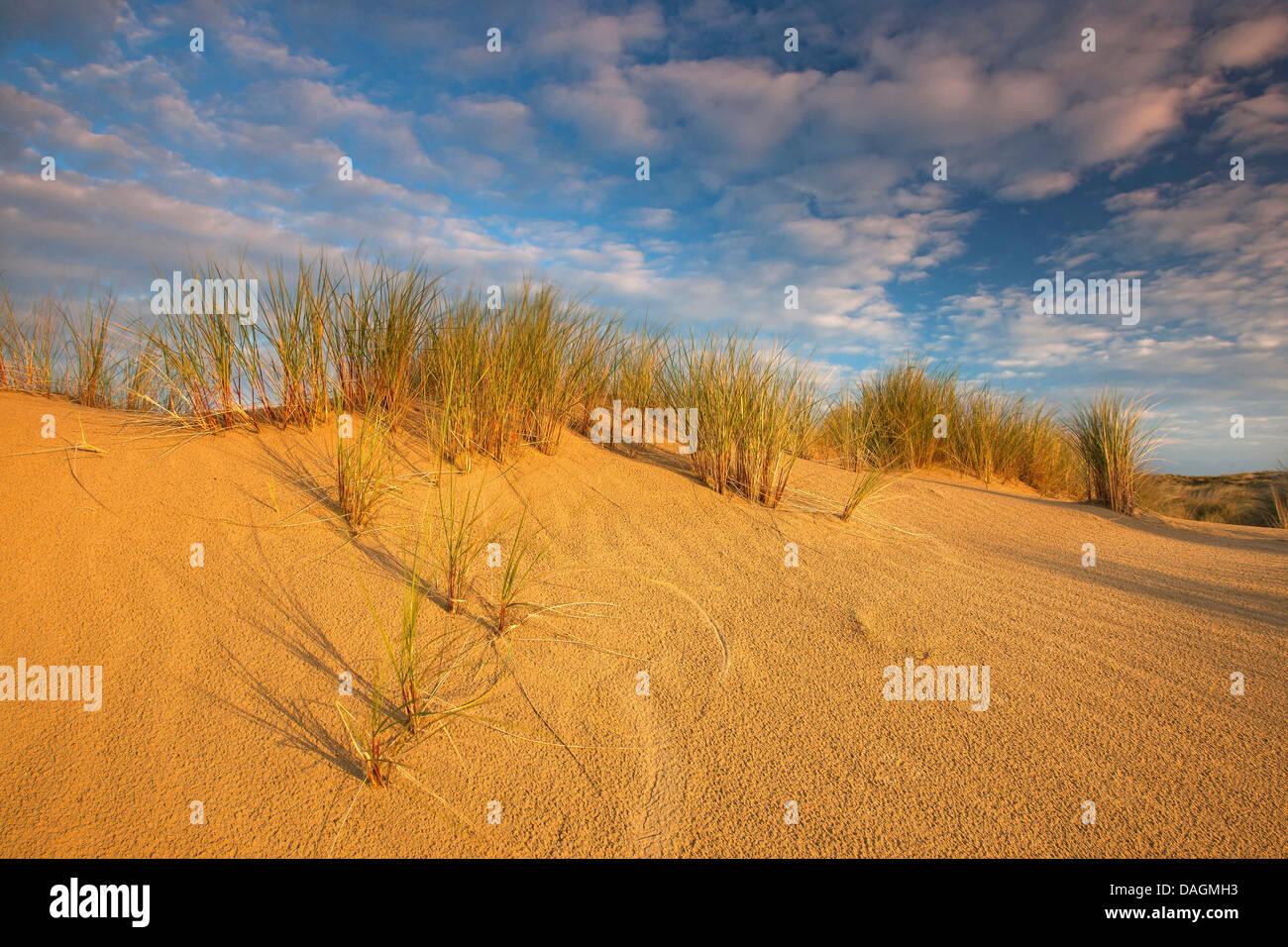 beach grass, European beachgrass, marram grass, psamma, sea sand-reed (Ammophila arenaria), dunes with beach grass - Stock Image