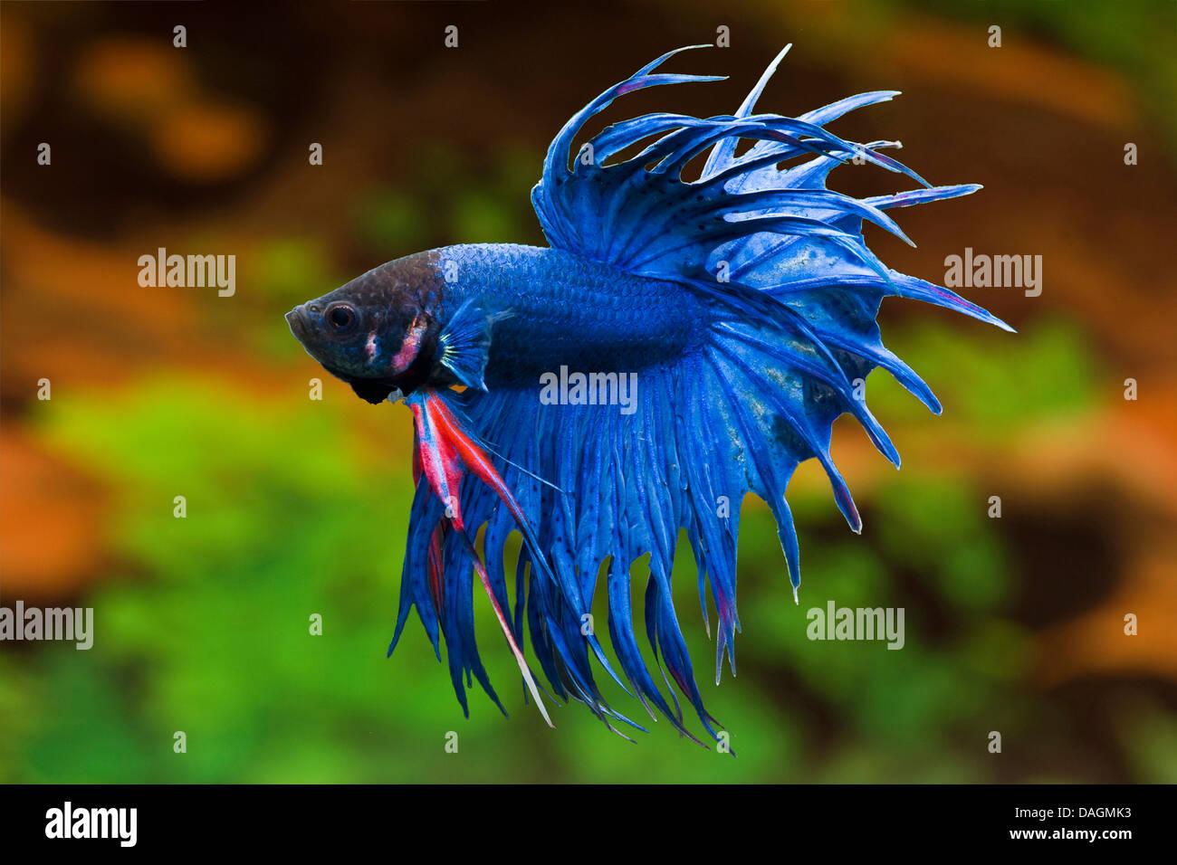 Siamese fighting fish siamese fighter betta splendens for Kampffisch betta