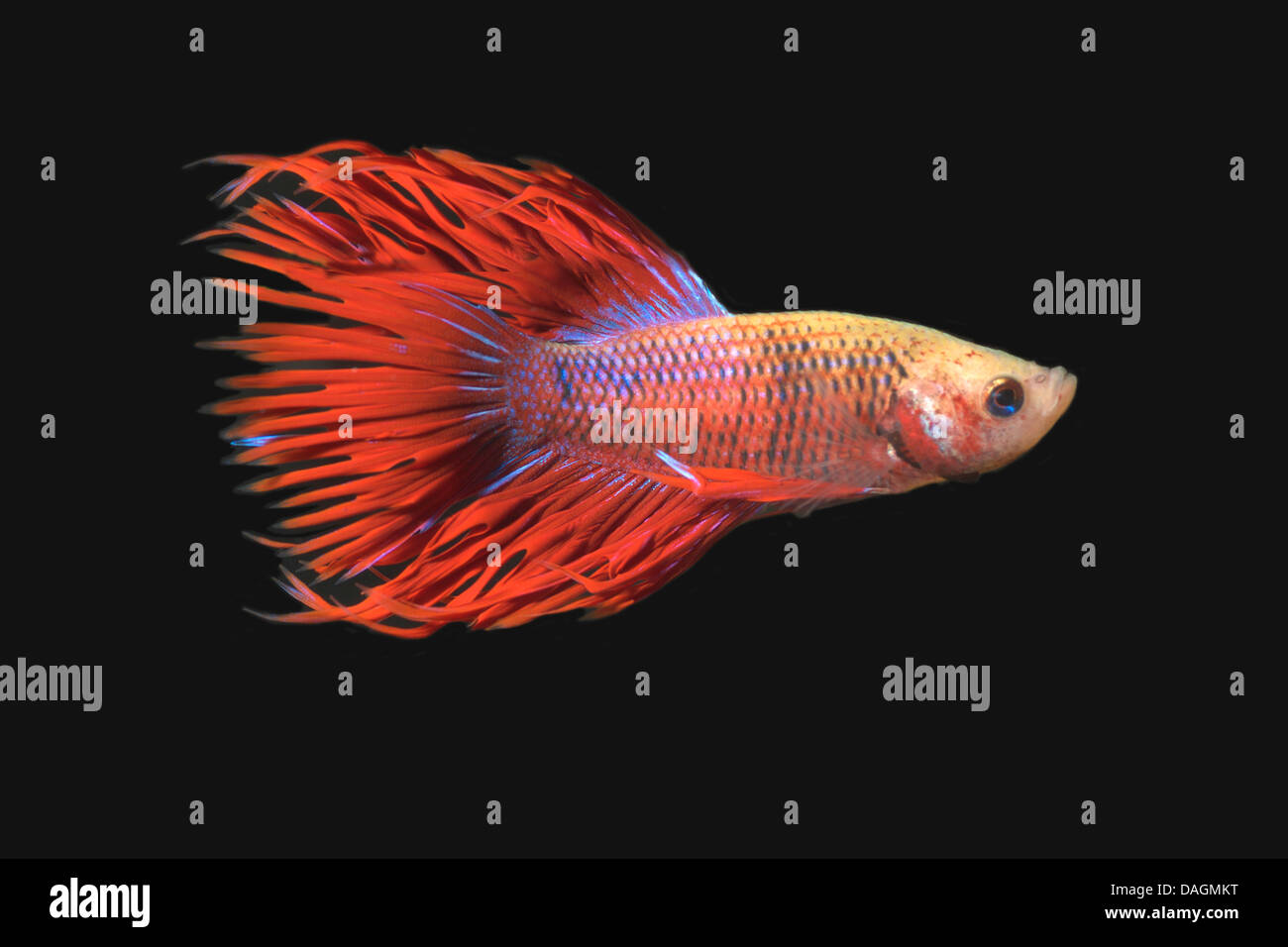 Red Morphs Stock Photos & Red Morphs Stock Images - Alamy