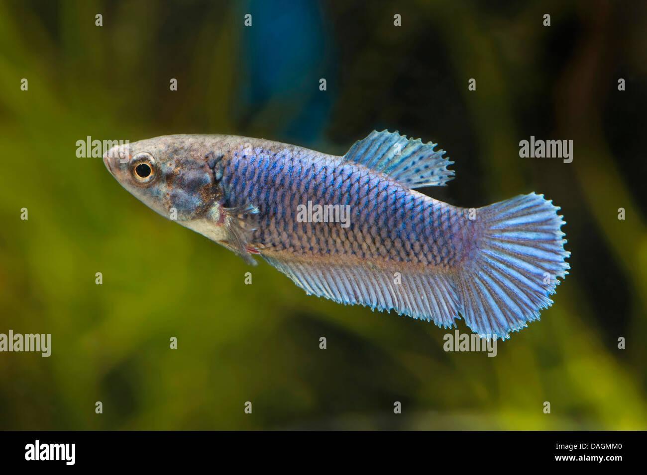 Siamese Fighting Fish Siamese Fighter Betta Splendens