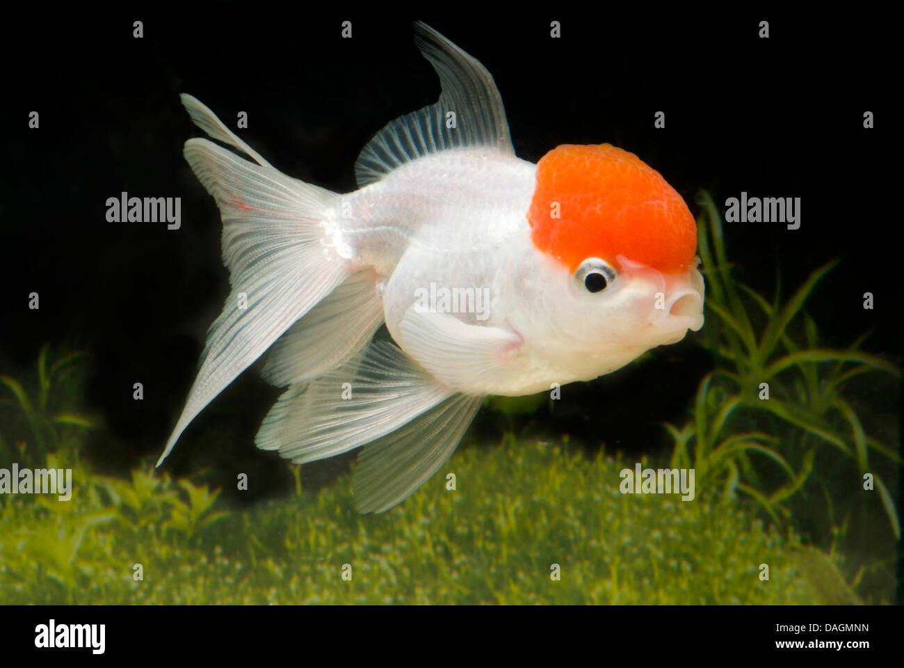 goldfish, common carp (Carassius auratus), lionhead-Rotkaeppchen Stock Photo