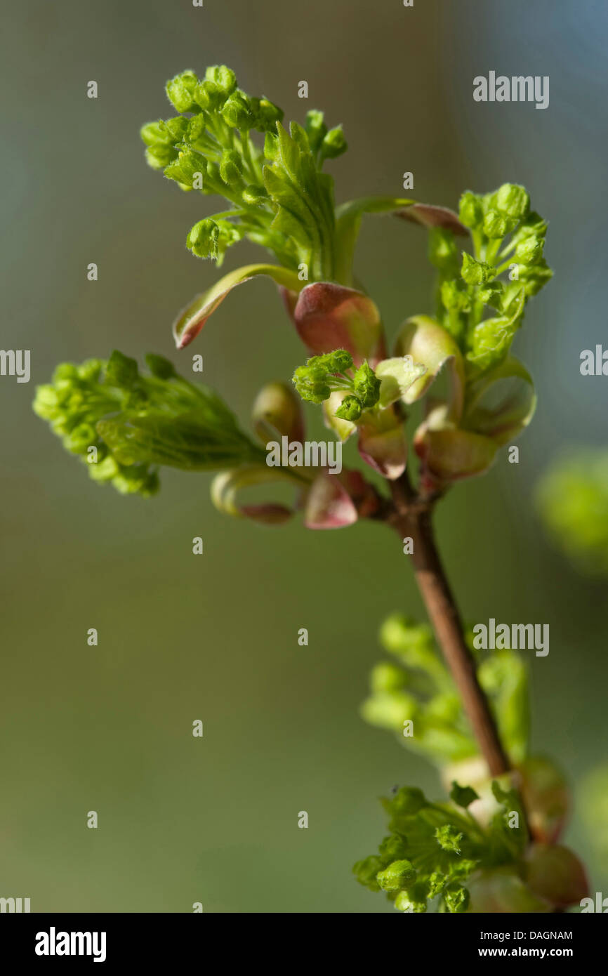 field maple, common maple (Acer campestre), twig with buds, Germany - Stock Image