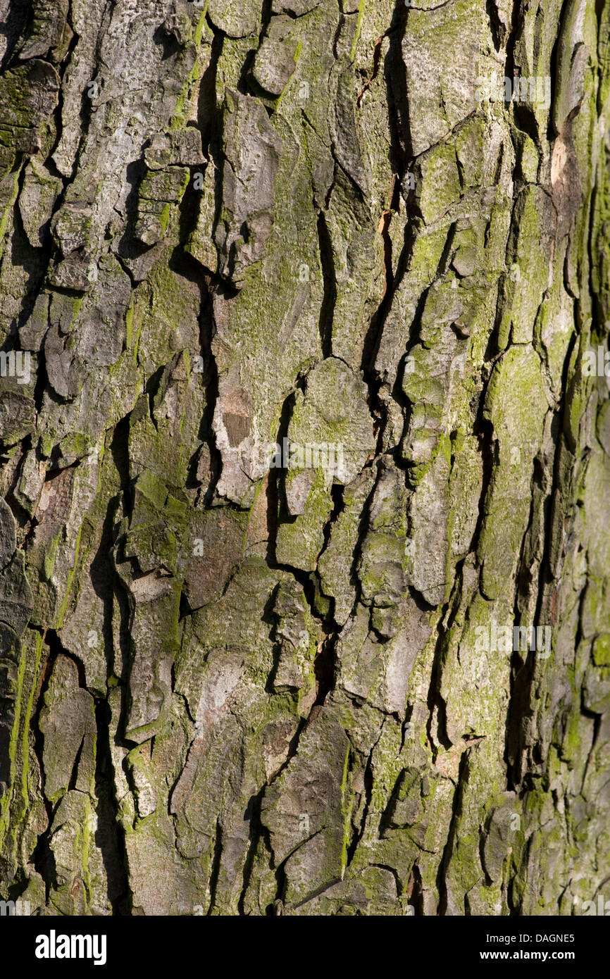 common horse chestnut (Aesculus hippocastanum), bark, Germany Stock Photo