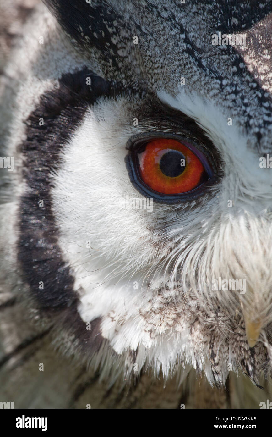 African Scops Owl (Otus leucotis). Close up of right eye within facial disc  made up of of specialized feathers.