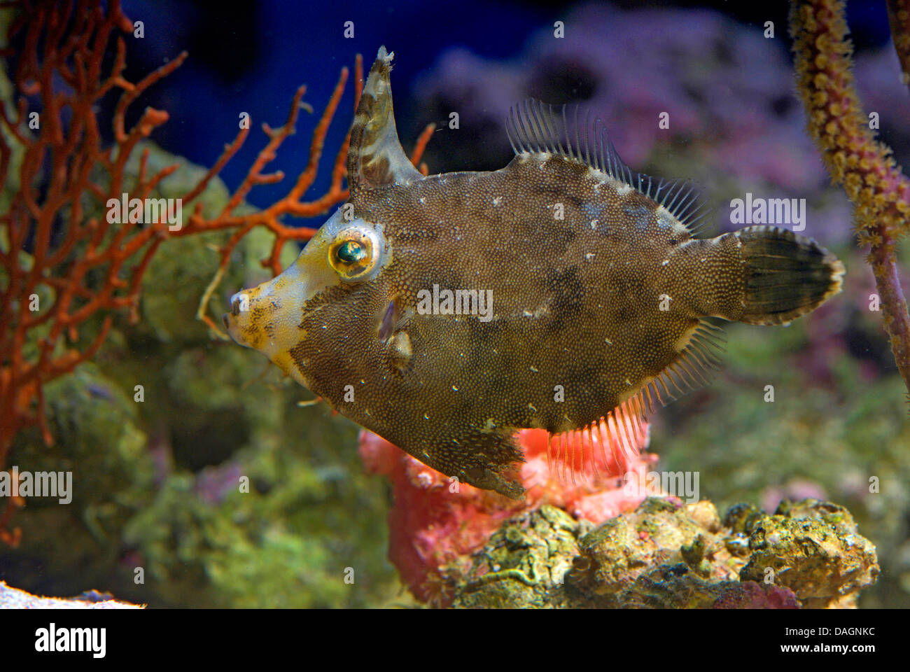 Bristle-tail file-fish (Acreichthys tomentosus), in front of corals - Stock Image