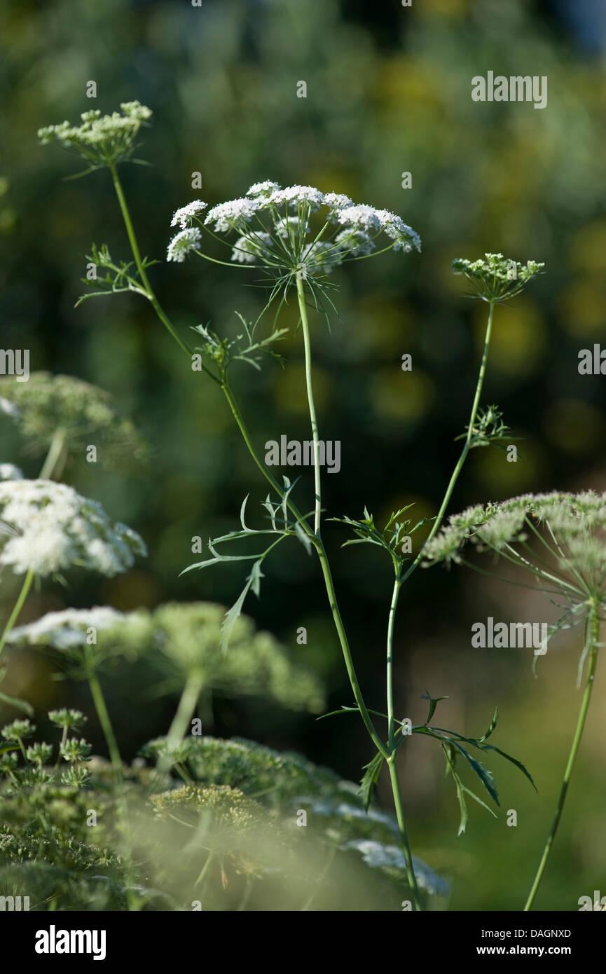 bullwort, toothpick ammi, Bishop's flower (Ammi majus), blooming, Germany Stock Photo