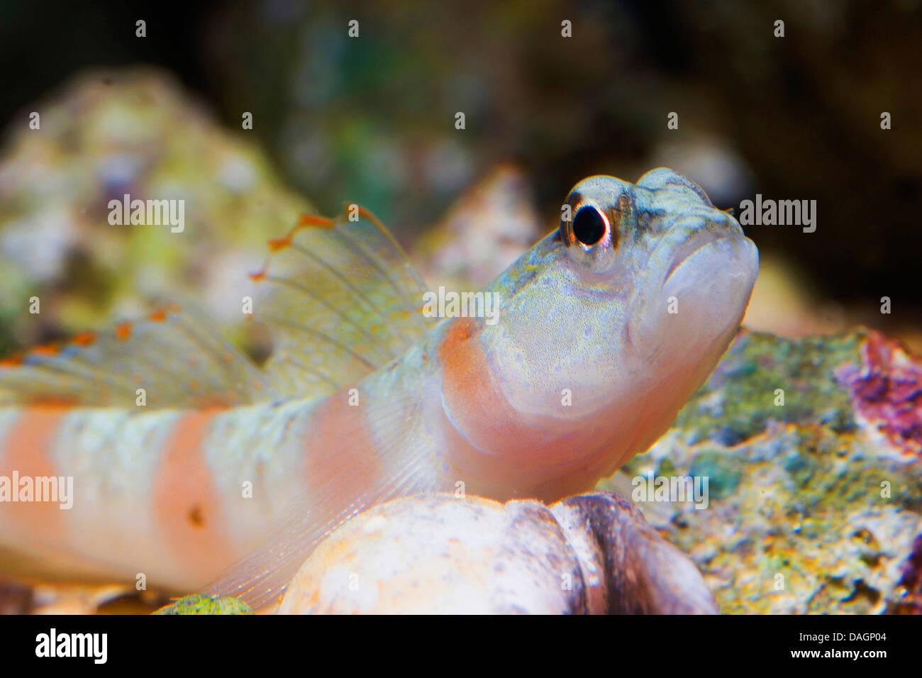 Magnus' prawn-goby (Amblyeleotris sungami), portrait - Stock Image