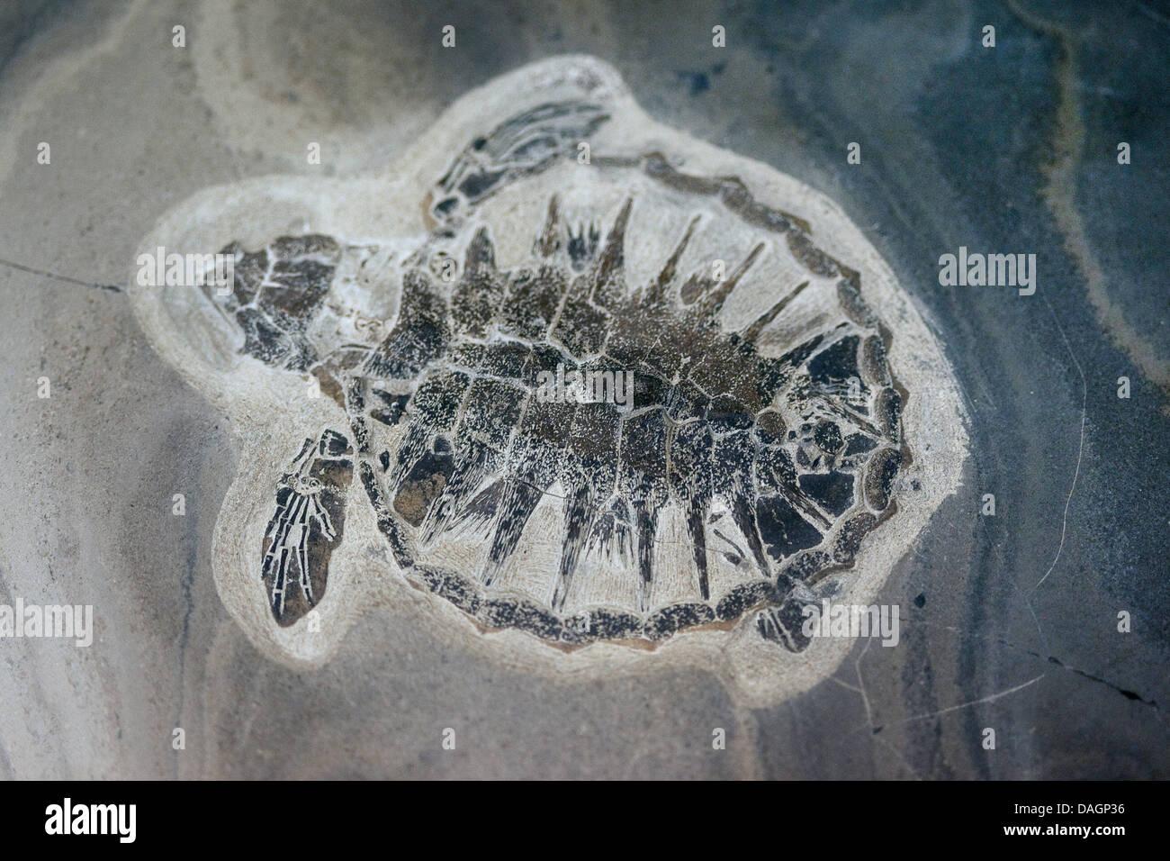 fossilized plant from Fur Formation, palaeocene/eocene, Denmark, Limfjord Stock Photo
