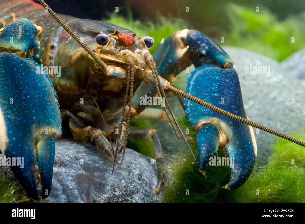 lobster (Cherax spec.), portrait - Stock Image