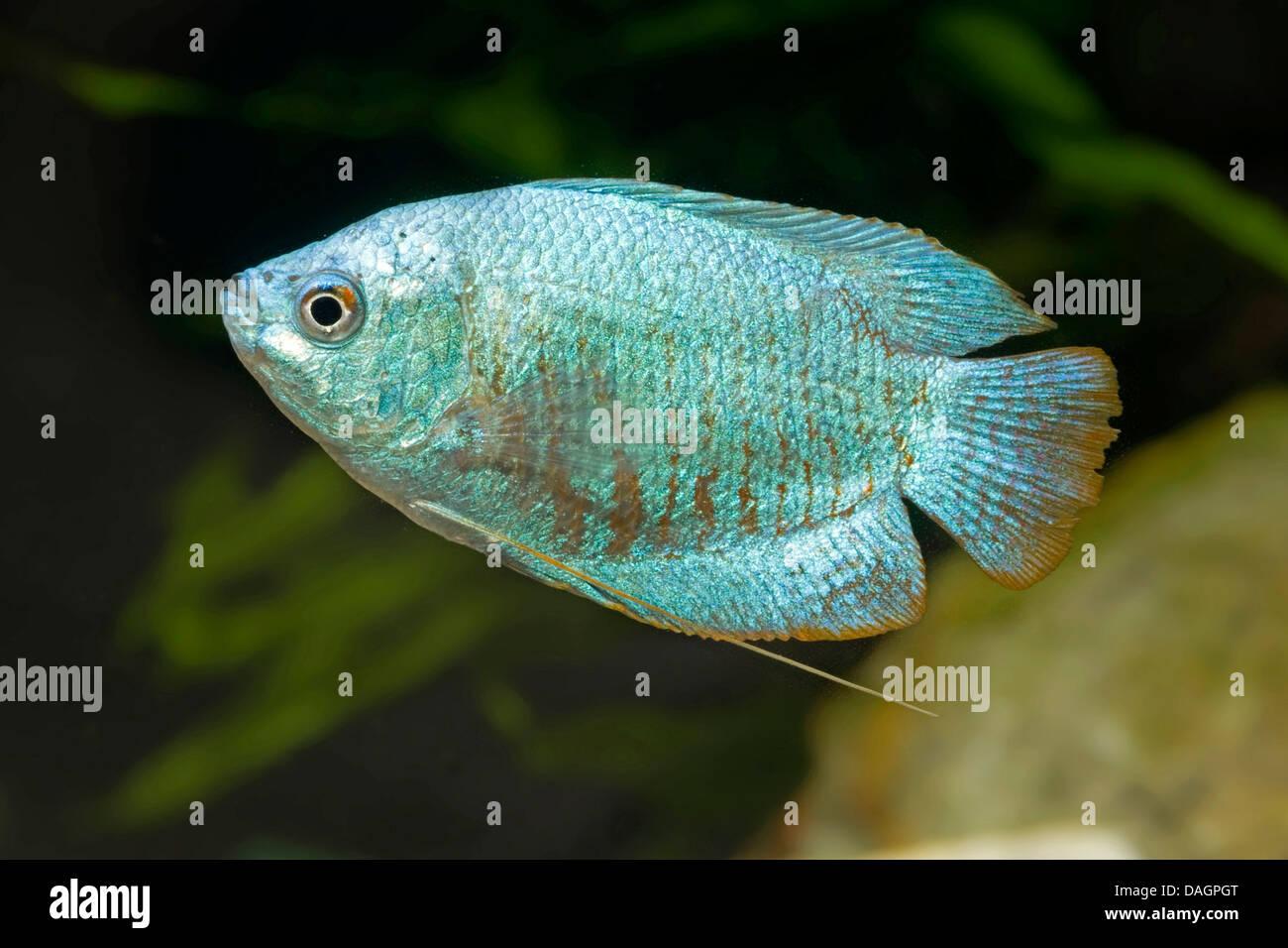 Gourami Fish Breeding   Dwarf Gourami Colisa Lalia Blue Kobalt Breed Blue Kobalt Stock