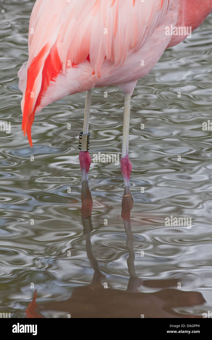 Chilean Flamingo Phoenicopterus chilensis. Showing 'ankle' or tibio-tarsal leg joints with plastic engraved - Stock Image