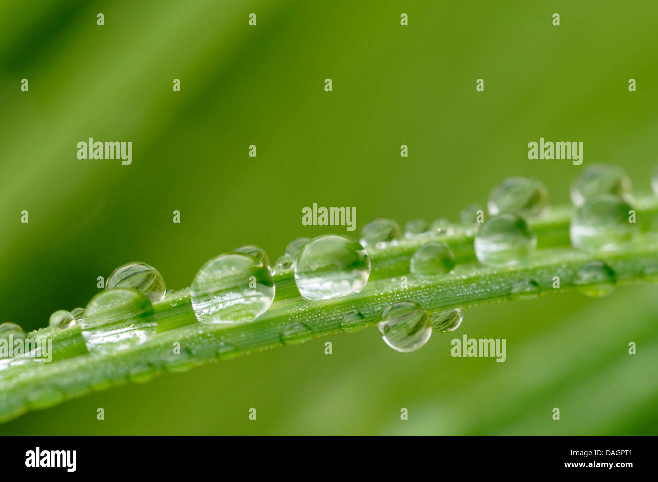 rain drops on a sedge leaf, Germany - Stock Image