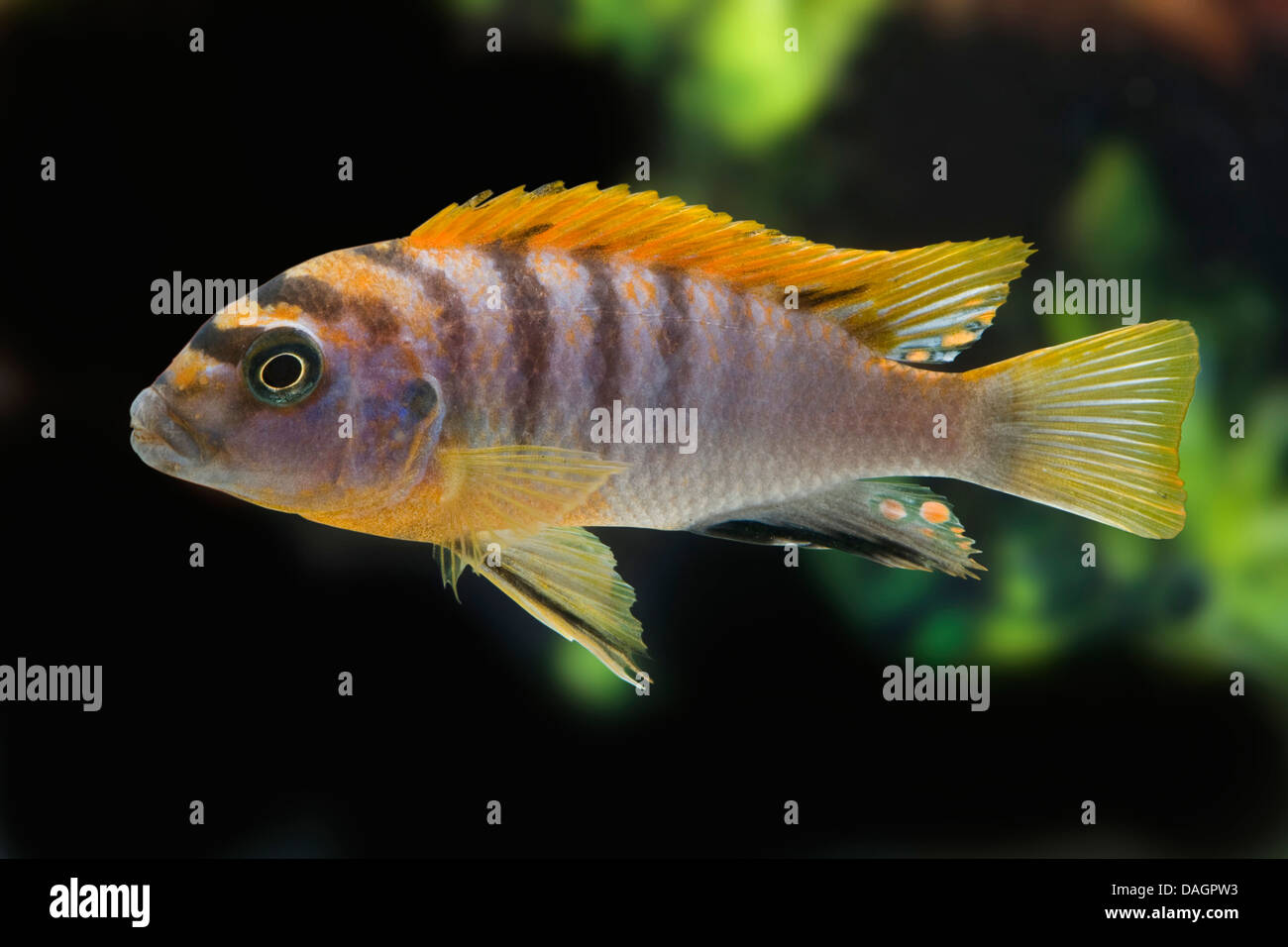 African Cichlid Stock Photos & African Cichlid Stock Images - Page 3