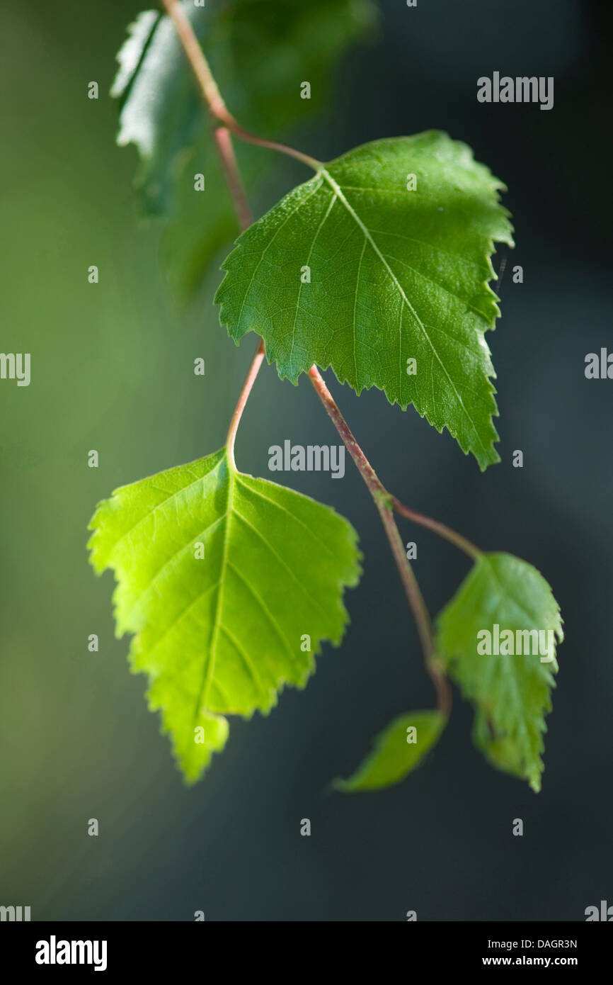 common birch, silver birch, European white birch, white birch (Betula pendula, Betula alba), birch leaves, Germany - Stock Image